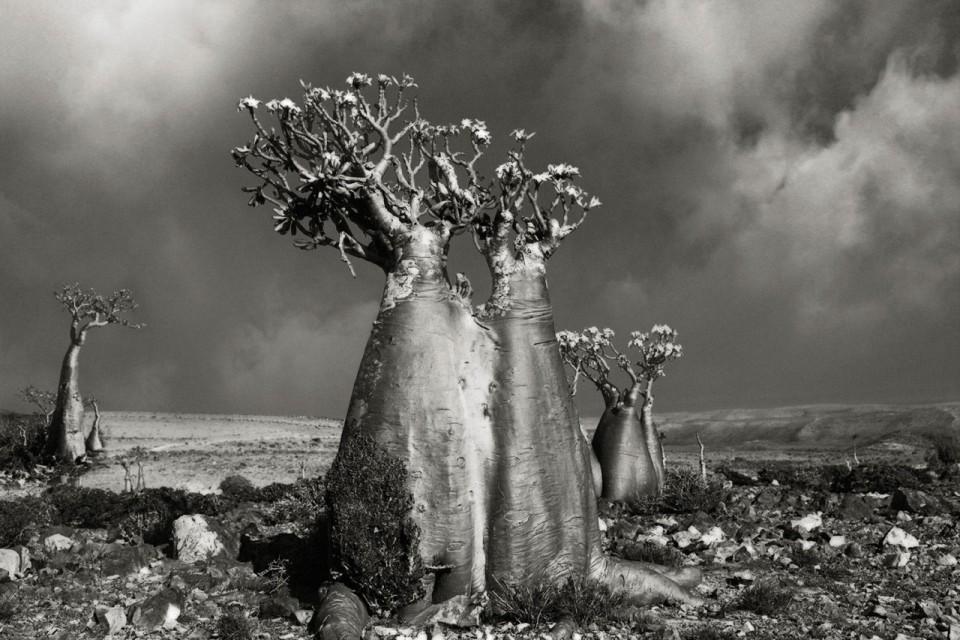 Beth Moon - Ancient Trees Portraits of Time, 2001-2015 Desert rose (Wadi fa lang)