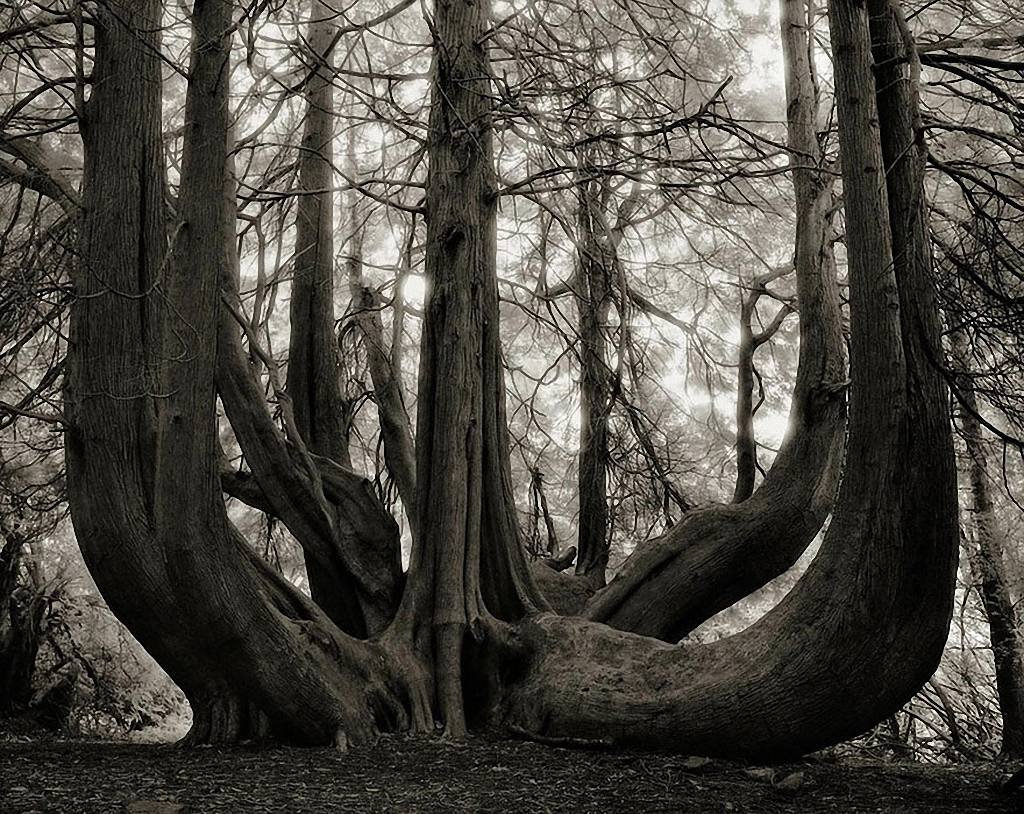 Beth Moon - Ancient Trees Portraits of Time, 2001-2015 Great Western Red Cedar