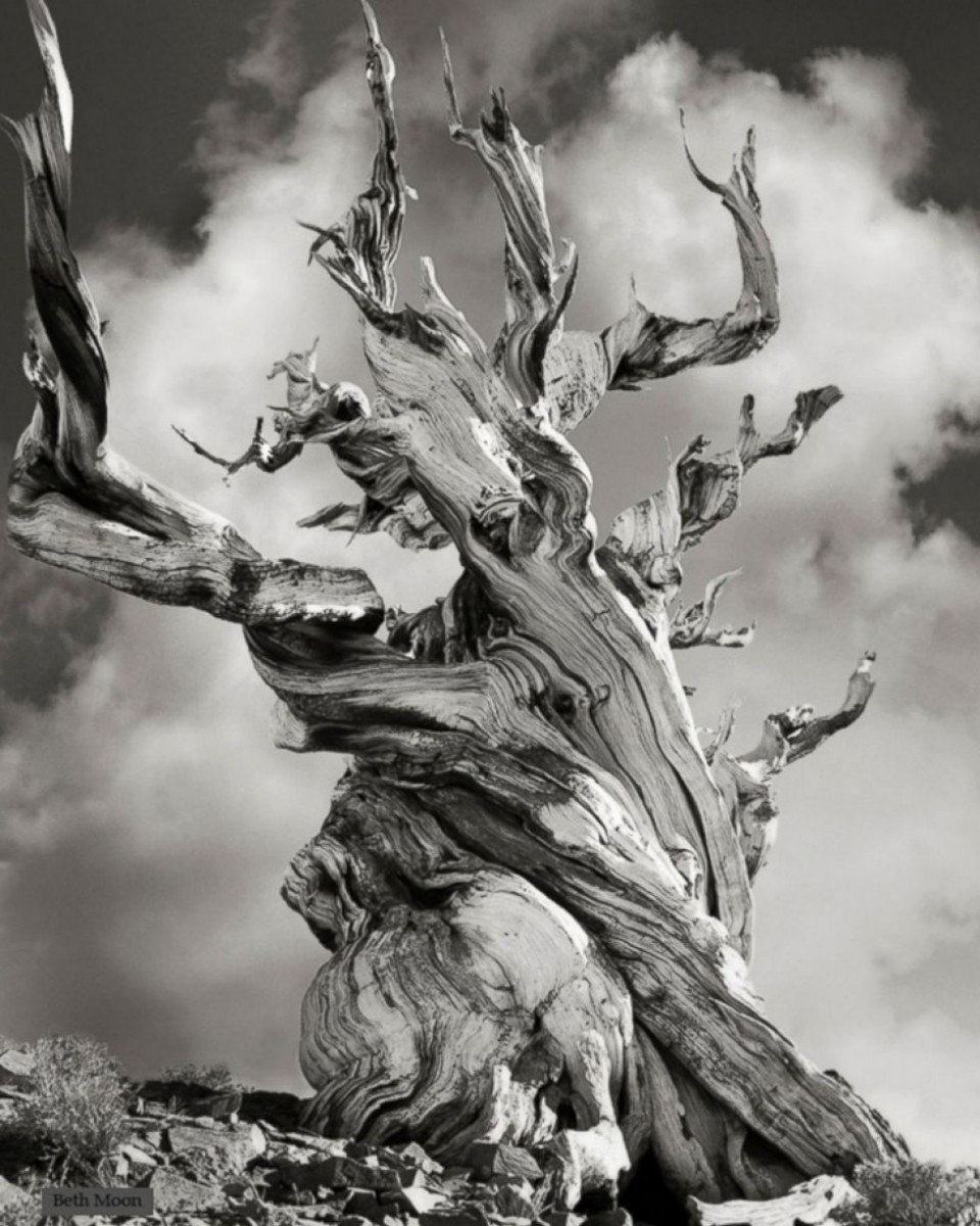 Beth Moon - Ancient Trees Portraits of Time, 2001-2015 ristlecone Pine Relic